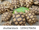 Stock photo close up baby african spurred tortoise resting in the garden slow life africa spurred tortoise 1354170656