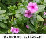 Two Soft Purple Flowers Of...