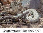 Two Santa Catalina Rattlesnake...