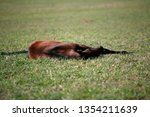 few weeks old colt live on a...   Shutterstock . vector #1354211639