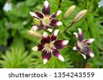 Small photo of Lily Asian, grade of Tango Netty's Pride (Lilium asiatic)