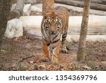 bengal tiger in zoo  panthera...   Shutterstock . vector #1354369796