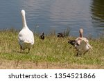 two domestic geese walking... | Shutterstock . vector #1354521866