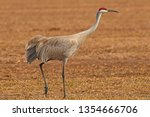 Springtime Sandhill Crane