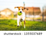Stock photo beagle dog runs in garden towards the camera with green ball sunny day dog fetching a toy copy 1355037689