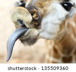 Close Up Of Funny Giraffe