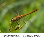 Stock photo extreme macro photography of a dragonfly aeshnidae in the wild the whole dragonfly close up the 1355225900