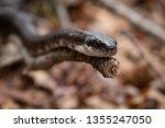 Black Rat Snake Climbing On A...