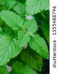 close up image of fresh mint... | Shutterstock . vector #1355488796