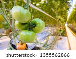 tomato plants growing in a... | Shutterstock . vector #1355562866