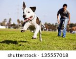 Stock photo a pit bull dog mid air running after its chew toy with its owner standing close by 135557018