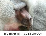 Close Up Face Of A Baboon