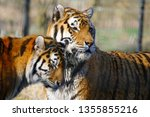 Two Tigers In Love  Female...