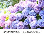 Flower Bloom Hydrangea Blue...