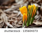 one of the very first flowers... | Shutterstock . vector #135604373