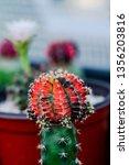 close up colorful gymnocalycium ... | Shutterstock . vector #1356203816