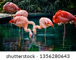 Group Of Chilean Flamingos Are...