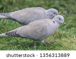 collared dove on the ground | Shutterstock . vector #1356313889