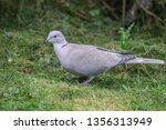 collared dove on the ground | Shutterstock . vector #1356313949