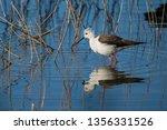 black winged stilt  himantopus... | Shutterstock . vector #1356331526