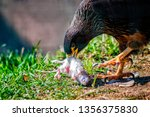 close up photo of golden eagle  ... | Shutterstock . vector #1356375830