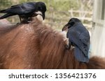 crows are robbing the manes of... | Shutterstock . vector #1356421376