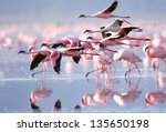 The Lesser Flamingo  Which Is...