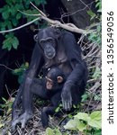chimpanzee in its natural... | Shutterstock . vector #1356549056