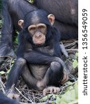 chimpanzee in its natural... | Shutterstock . vector #1356549059