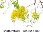blooming of golden shower or... | Shutterstock . vector #1356556400