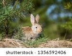 Stock photo rabbit hare while in grass in summer time 1356592406