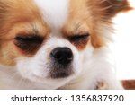 head of my sweet chihuahua... | Shutterstock . vector #1356837920