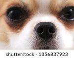 head of my sweet chihuahua... | Shutterstock . vector #1356837923