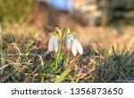 sunligted white snowdrops... | Shutterstock . vector #1356873650