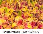 Beautiful Orange Tiger Lilies....
