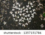 the fallen tung tree flower can ...   Shutterstock . vector #1357151786