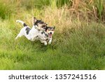 Small photo of Two dogs are running across the meadow and hunt each other. Show light aggressive behavior. Actually cute and peaceful Jack Russell Terriers who just exaggerate in the game.