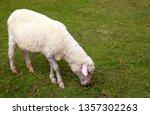 one close up sheep eats grass...   Shutterstock . vector #1357302263