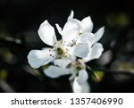 white flowers of the trifoliate ... | Shutterstock . vector #1357406990