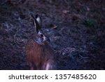 Stock photo european hare lepus europaeus after sunset twilight almost darkness springtime evening 1357485620
