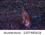 Stock photo european hare lepus europaeus after sunset twilight almost darkness springtime evening 1357485626