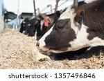 holstein heifers eating out of...   Shutterstock . vector #1357496846