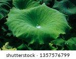 Water Drop Over Lotus Leaf