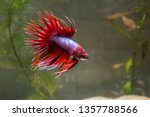 red crown tailed cock | Shutterstock . vector #1357788566