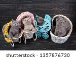 Stock photo scottish straight and scottish fold kittens five kittens in scenery playful fluffy kittens 1357876730