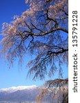 weeping cherry tree of seirin... | Shutterstock . vector #135791228