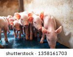 ecological pigs and piglets at... | Shutterstock . vector #1358161703
