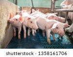 ecological pigs and piglets at... | Shutterstock . vector #1358161706