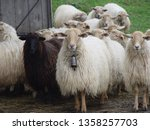 Flock Of Sheep Look With...