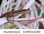 asian grass lizard  six striped ... | Shutterstock . vector #1358316350